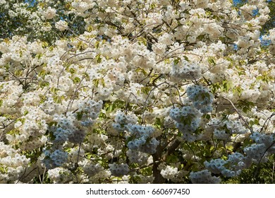 Apple tree structure with branches and blossoms