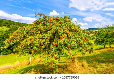 Apple tree in summer mountain garden landscape. Red apples on apple tree in apple trees garden summer landscape