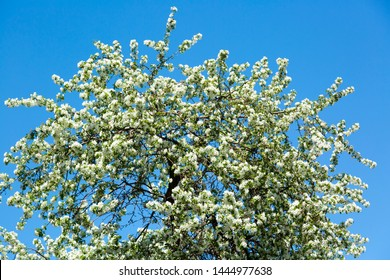 Apple tree with white flowers on the background of the May sky
