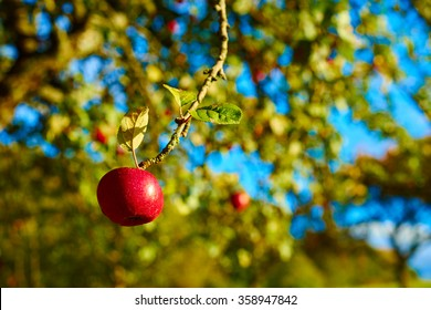 Apple tree with wonderful big red apples on meadow under blue sky / Apple tree close before harvest on field in germany / Fruits of germany close to Stuttgart