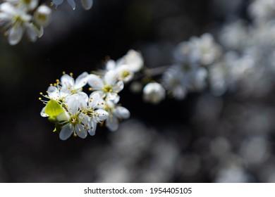 Apple Trees Blooming in Spring