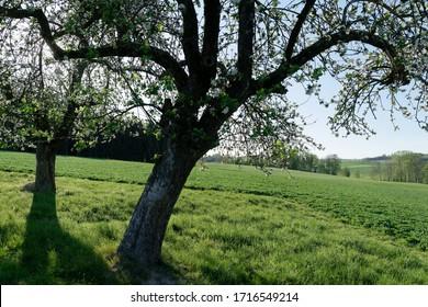 Apfelbäume mit Blüten in Österreich im Frühjahr