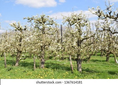 apple trees with blossoms in an apple orchard in the Betuwe, the Netherlands