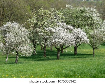 apple trees with blossoms in spring in austria