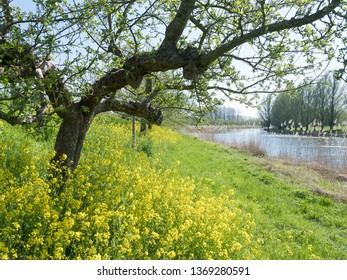 apple trees in early spring with yellow rapeseed flowers under blue sky in the region of Betuwe in the netherlands