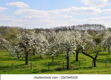 apple trees are flowering in an orchard near Culemborg in the Betuwe