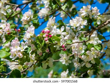 Flowering Trees Images Stock Photos Vectors Shutterstock
