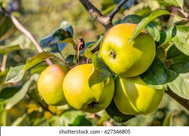 Apple trees and fruits n a garden in summer
