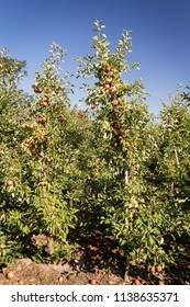 Apple trees full of ripe fruits