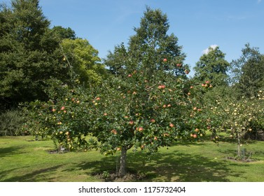 Apple Trees (Malus domestica) Laden with Fruit in an Orchard in a Country Cottage Garden at Rosemoor in Rural Devon, England, UK