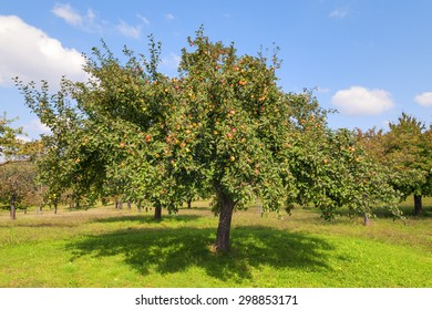 Apple trees on Lake Constance in autumn