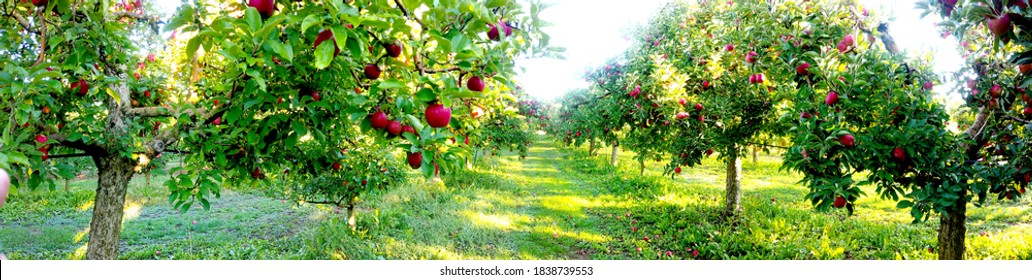 Apple trees in an orchard, with fruits ready for harvest.morning panorama shot