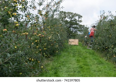 Apple trees in orchard with picking crates in background