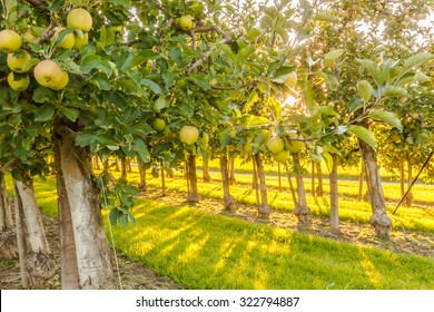 Apple trees in an orchard with ripe apples ready for harvest.
