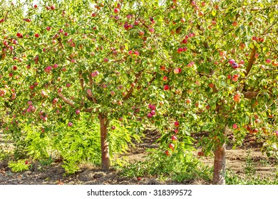 Apple trees with ripe red fruits in the orchard, backlit