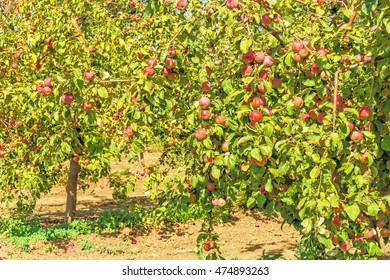 Apple trees with ripe red fruits in the orchard in autumn day