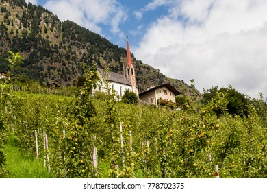 apple trees in south tyrol, italy