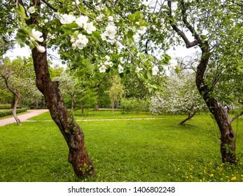 Apple trees in spring park scene. Spring blooming apple trees blossoms. Spring blooming apple blossom trees. Spring blooming apple tree blossom