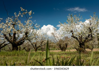 Apple trees in springtime with a blue sky in the background