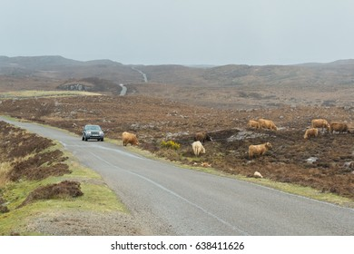 APPLECROSS PENINSULA, WESTER ROSS, SCOTLAND, UK - 25 APRIL 2017 - Highland Cattle by the side of the road on a remote part of the North Coast 500 tourist route
