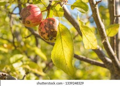 Apples affected by apple mottle disease (Venturia inaequalis)