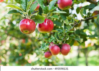 Apples in apple tree