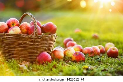 Apples in a Basket Outdoor. Sunny Background. Autumn Garden