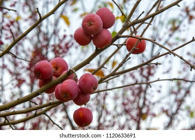 Apples are decorative, The other species are generally known as crabapples, crab apples or wild . The genus is native to the temperate zone of the Northern Hemisphere.