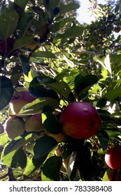 Apples in Evening Shade