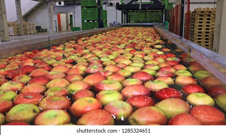 Apples float in a sort of water conveyor in a fruit packing warehouse