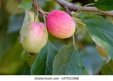 Apples growing in the garden.