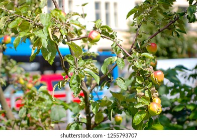 Apples Growing in an Urban Environment