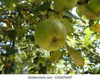 Apples hanging on apple tree branches , summer season