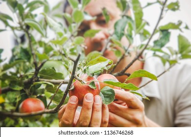 Apples harvest. Farmers hands with apples on a branch