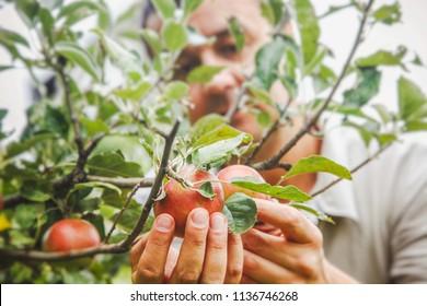 Äpfel ernten. Bauern haben Äpfel auf einer Filiale