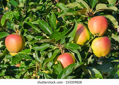 Apples in a Kent Orchard-
