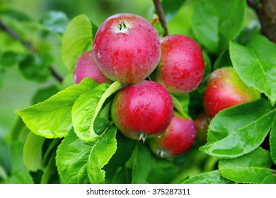 Apples on apple tree after rain in august.