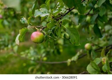 Apples on an apple-tree