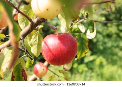 Apples on a branch. Apples on a tree in a garden close up
