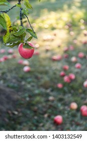 Apples on the branches of apple tree, apple fruit background, organic apples in the garden, food and agriculture concept