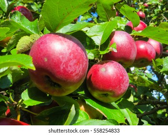 apples on branches in a garden