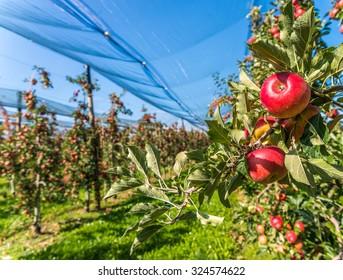 Apples on a farm