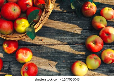 Apples on shabby old wooden planks. Apple picking, fall harvest concept. Top view. Horticulture, orchard, gardening, august, basket, board