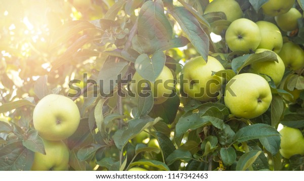 Apples on a tree branch, blurred bokeh background, sunlight, glare