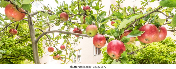 Apples on the tree in bright sunlight