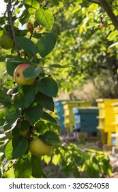 Apples in an orchard with yellow and blue beehives beyond in soft focus