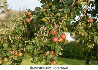 apples of organic cultivation hanging on branch in evening sun
