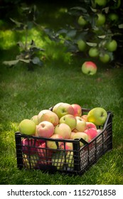 Apples in a plastic box, on a green grass