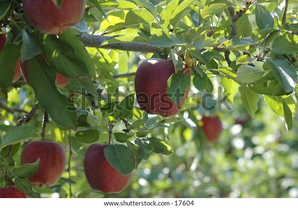 Apples ripe for picking