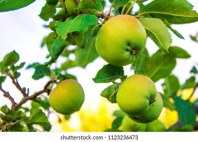 apples ripen on the tree
